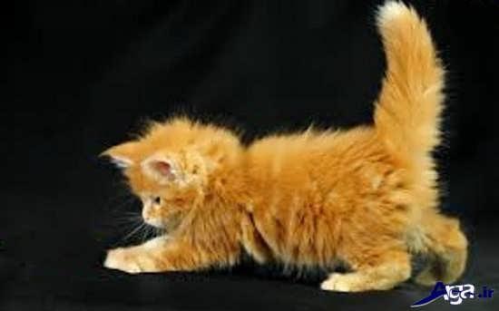 عکس گربه های زیبا وقهوه ای