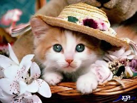 عکس گربه های زیبا و بانمک قهوه ای