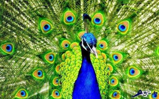 تصاویر جذاب و دیدنی طاووس