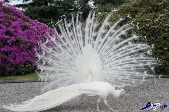 گالری عکس طاووس سفید