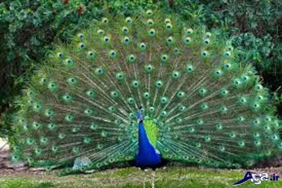 گالری عکس طاووس نشسته