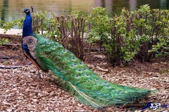 گالری عکس طاووس زیبای سبز