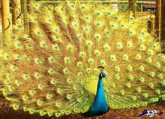 زیباترین عکس های طاووس