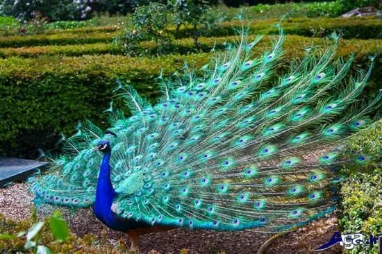 گالری عکس طاووس سبز