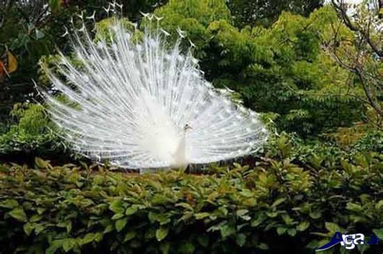 مجموعه کامل عکس طاووس