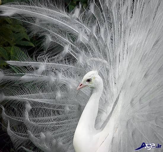 عکس های طاووس سفید
