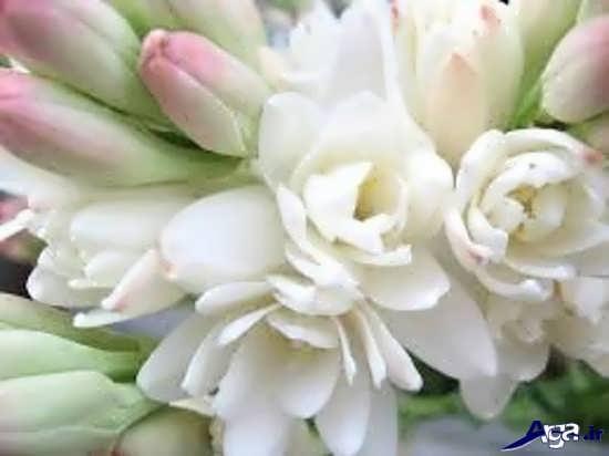 گل مریم و روش پرورش آن