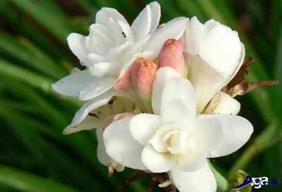 عکس های گل مریم در طبیعت