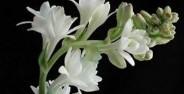 عکس گل مریم معطرترین گلها