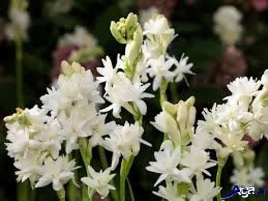 عکس های گل مریم به همراه روش کاشت آن