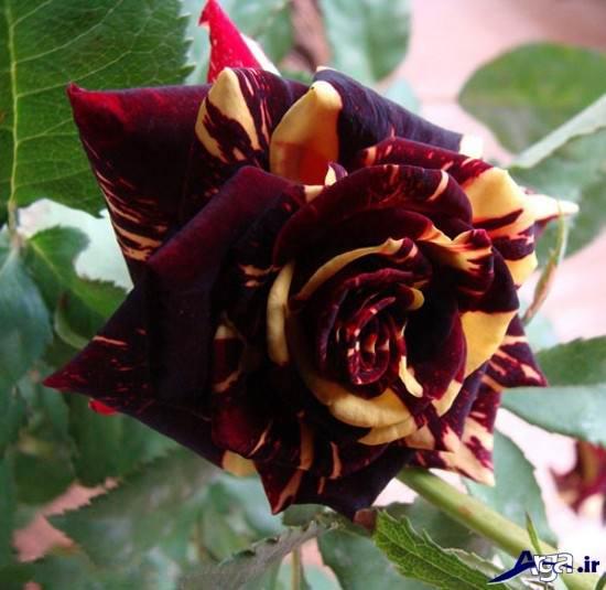 تصاویر گل رز دو رنگ