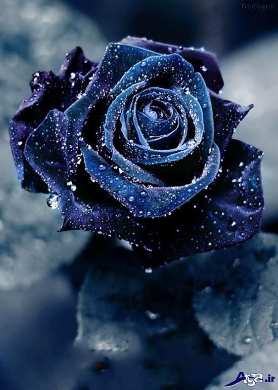 زیباترین گلهای رز