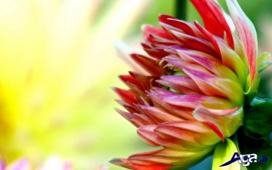 عکس های مختلف از زیباترین گلهای دنیا