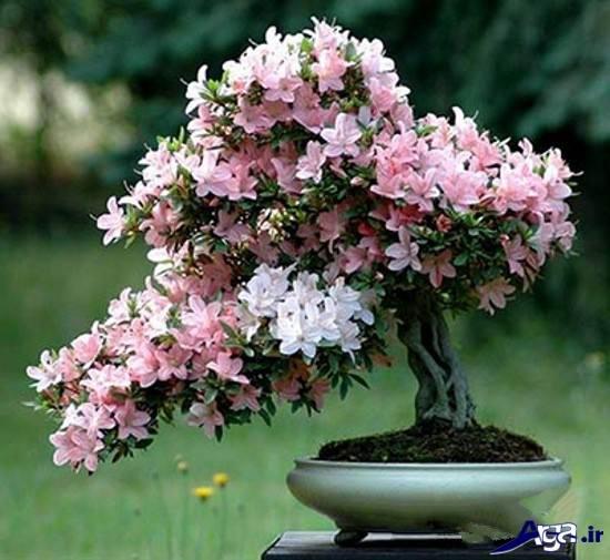 عکس های گل های مینیاتوری