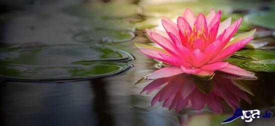 عکس های زیبای گل نیلوفر مرداب