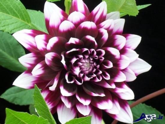 زیباترین گلها ی جهان