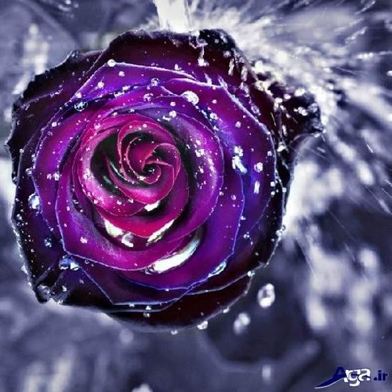 عکس های زیباترین گل رز