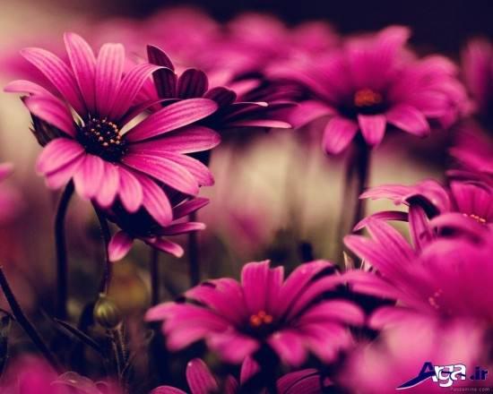 تصاویری از زیباترین گلها