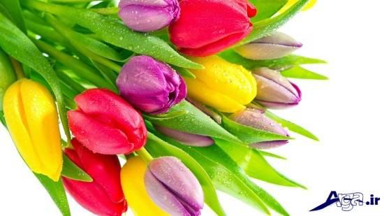 زیباترین عکس های گل لاله