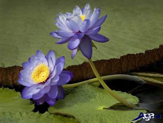 زیباترین گلهای مرداب