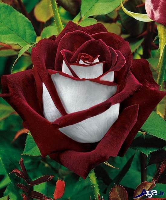 عکس های گل رز زیبا
