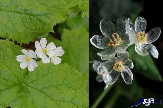 تصاویری از گلهایی که زیر باران شیشه ای میشوند