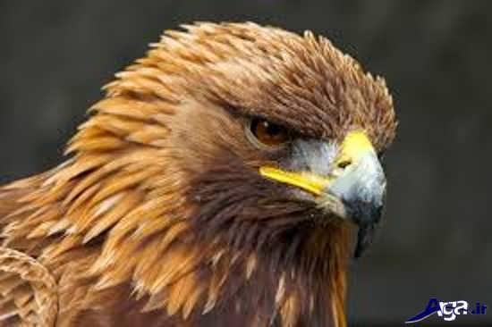 گالری عکس عقاب طلایی