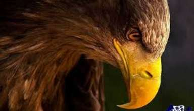 تصاویر عقاب طلایی