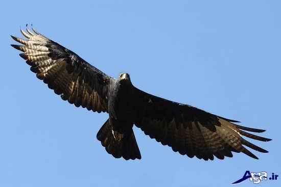 عکس های عقاب طلایی