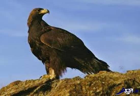 عکس های زیبای عقاب طلایی