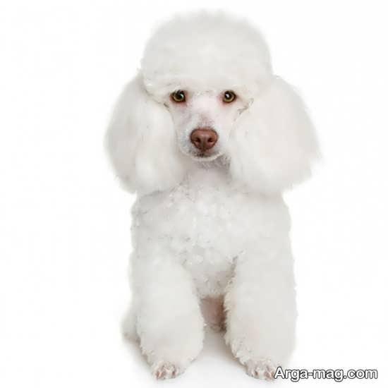 عکس سگهای پشمالو سفید