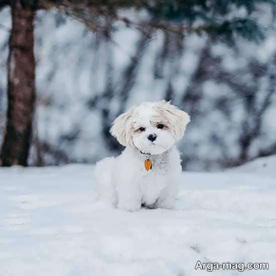 عکس زیبای سگ های پشمالو