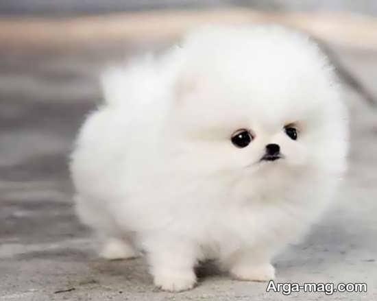 عکس سگهای پشمالو بامزه