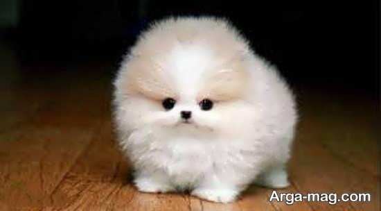 عکس سگهای پشمالو زیبا