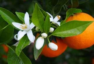 خواص بهار نارنج