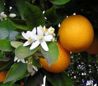 خواص دارویی بهار نارنج