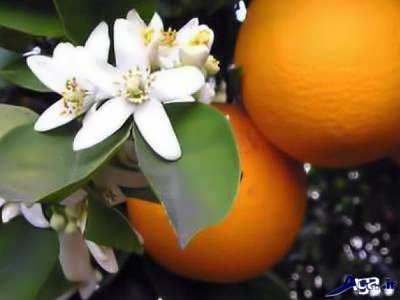 بهار نارنج و خواص آن
