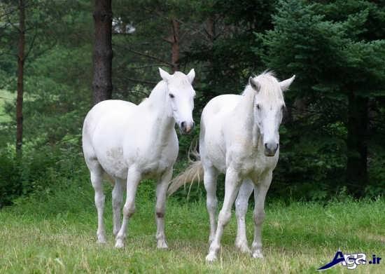 عکس اسب های زیبا و سفید