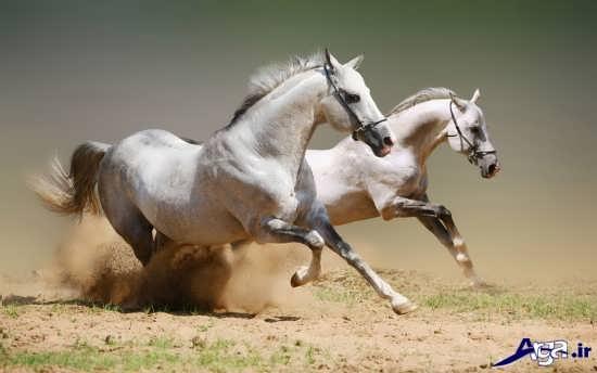 عکس اسب های زیبا و باوقار