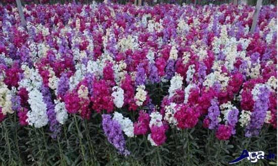 انواع عکس های گل شب بو