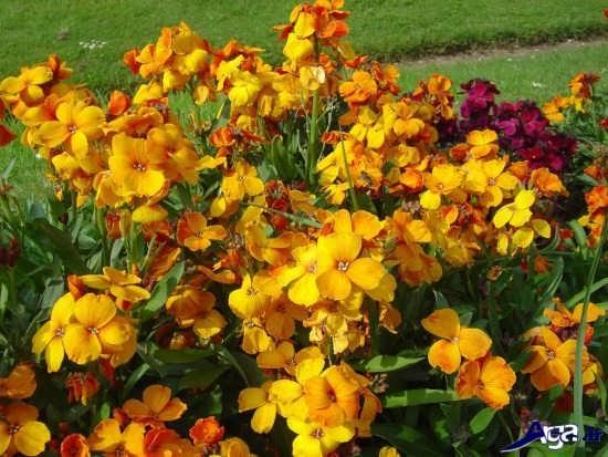 تصاویر انواع گل شب بوی زعفرانی