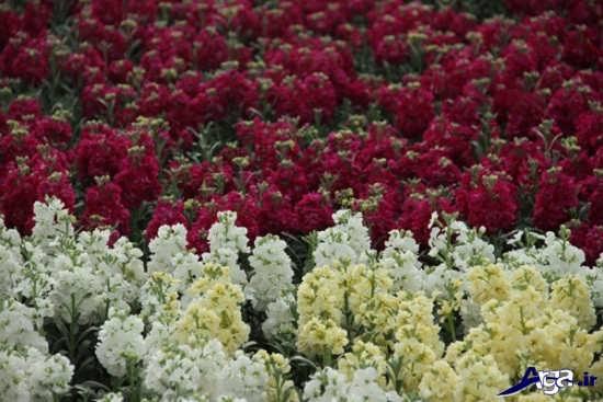 زیباترین گالری انواع گل شب بو