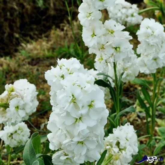 زیباترین تصاویر گل شب بوی سفید