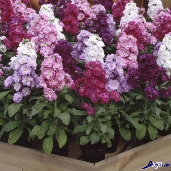 تصاویر انواع گل های شب بو