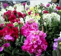 گل شب بو و ویژگی های متفاوت آن را بهتر بشناسید + عکس