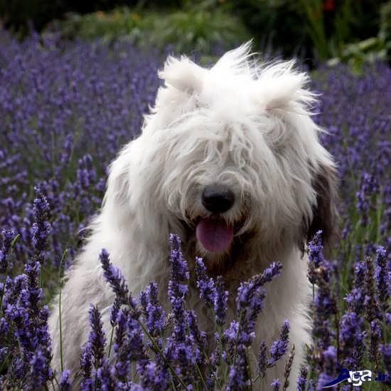 عکس سگ پشمالو در طبیعت