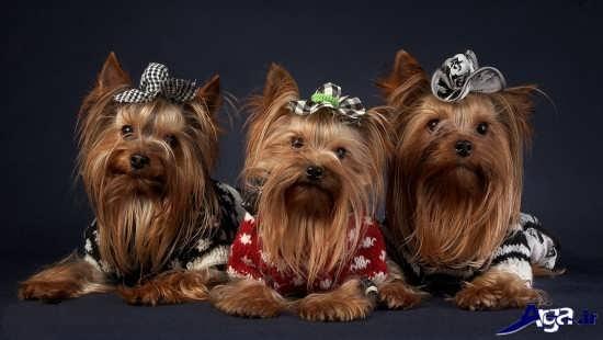 عکس سگ های پشمالوی قهوه ای