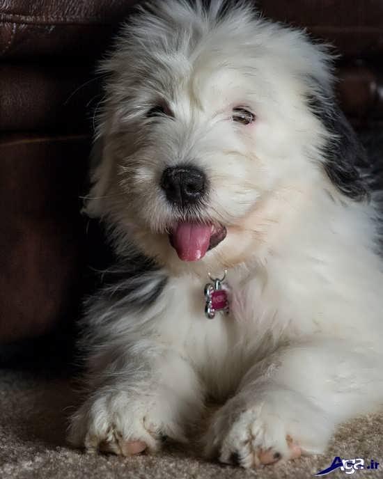 تصاویر سگ های پشمالوی زیبا