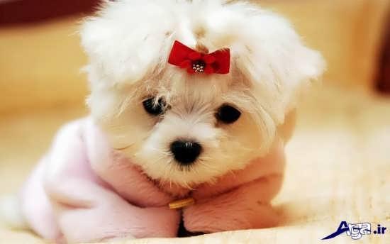 عکس بامزه سگ پشمالو