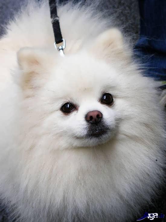 سگ پشمالوی بسیار زیبا